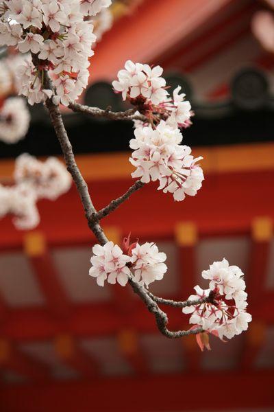 平安神宮と桜